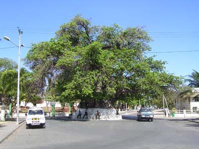 Baobab in Majunga