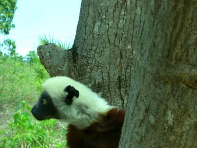 Lemur Nahaufnahme