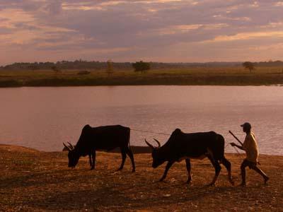 Rinder im Sonnenuntergang
